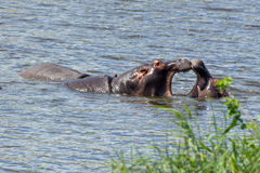 Hippopotamus. Fighting hippopotami in the Krueger National park in South Africa Stock Images