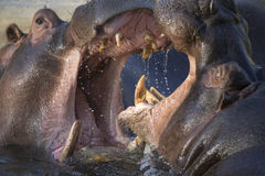 Hippopotamus fighting. Two adult male hippopotamus fighting in the water royalty free stock photography
