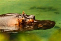 Hippopotamus. Floating in green water Stock Photo