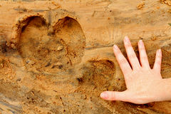 Hippopotamus Foot Print Compared to Female Hand. A hippopotamus foot print in the sand next to a female human adult's hand for comparison in size Stock Images