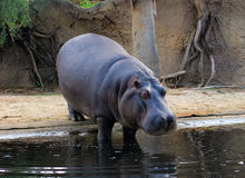 Hippopotamus going down in a water. In a zoo Royalty Free Stock Photo