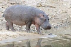 Hippopotamus going into river Royalty Free Stock Photo