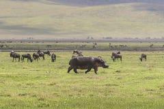 Hippopotamus on the Grass. One big Hippopotamus on the grass and herd of wildbeests gnus in Ngorongoro Crater, Ngorongoro Conservation Area, Tanzania. Africa Stock Images