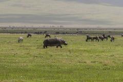 Hippopotamus on the Grass. One big Hippopotamus on the grass and herd of wildbeests gnus in Ngorongoro Crater, Ngorongoro Conservation Area, Tanzania. Africa Royalty Free Stock Image