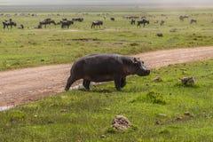 Hippopotamus on the Grass royalty free stock image