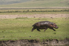 Hippopotamus on the Grass Stock Photography