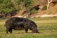 Hippopotamus grazing Royalty Free Stock Photos