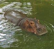 Hippopotamus. In a green water Stock Photography