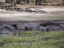 Hippopotamus group Stock Images