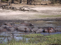 Hippopotamus group Royalty Free Stock Image