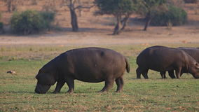 Hippopotamus group Royalty Free Stock Photo
