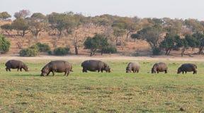 Hippopotamus group Royalty Free Stock Photos