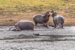 Hippopotamus group. Hippopotamus (Hippopotamus amphibius) or hippo swimming in water and arguing with each other in Kruger National park, South Africa royalty free stock photography