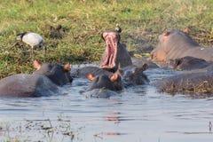 Hippopotamus group Stock Photos