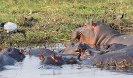 Hippopotamus group Stock Photography