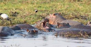 Hippopotamus group Royalty Free Stock Photo
