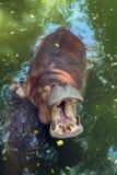 Hippopotamus in water. Hippopotamus having opened a mouth in water stock photography