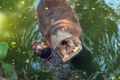 Hippopotamus in water. Hippopotamus having opened a mouth in water stock photos