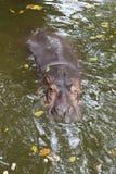 Hippopotamus head Royalty Free Stock Photo