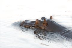 Hippopotamus head Royalty Free Stock Photos
