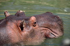 Hippopotamus head Royalty Free Stock Photos