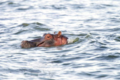 A Hippopotamus with heads above the water Stock Photography