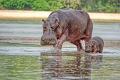 Hippopotamus with her cub walking on the water. Hippopotamus Hippopotamus amphibius, from the ancient Greek `river horse`. Is a large, mostly herbivorous stock photos
