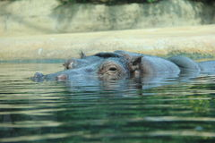 Hippopotamus. Stock Photos