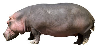 Hippopotamus, hipopótamo, animais selvagens isolados no branco Imagens de Stock Royalty Free