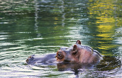 hippopotamus hippo Στοκ φωτογραφία με δικαίωμα ελεύθερης χρήσης