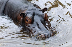 The hippopotamus or hippo Royalty Free Stock Images
