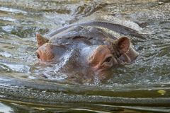 Hippopotamus Hippo bathing in water closeup view Stock Photo