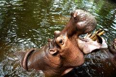 Hippopotamus (Hippo) Giant opened its mouth on the water.  in chiangmai zoo ,thailand Royalty Free Stock Photography