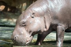 Hippopotamus or hippo while looking for food stock image
