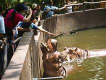 Hippopotamus Stock Images