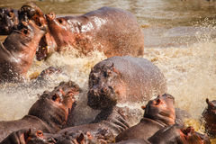 Hippopotamus in hippo pool Royalty Free Stock Images