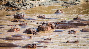 Hippopotamus in hippo pool Royalty Free Stock Photos