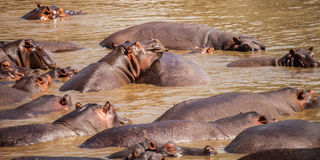 Hippopotamus in hippo pool Stock Image