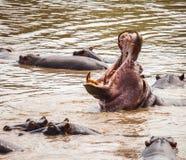 Hippopotamus in hippo pool Stock Images