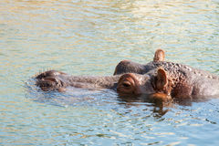 A hippopotamus hippo resting in the water. Royalty Free Stock Image