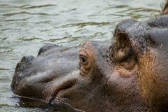 Hippopotamus. An hippo swimming in a little lake royalty free stock photo