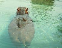 Hippopotamus 2. Hippo swimming in a pond at Toronto Zoo Stock Photos