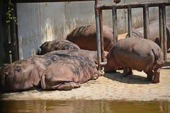 Hippopotamus or hippo. Taipei zoo , taiwan : Close up of hippopotamus Royalty Free Stock Images