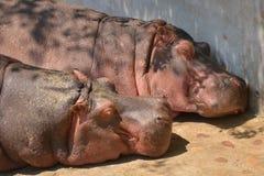 Hippopotamus or hippo. Taipei zoo , taiwan : Close up of hippopotamus sleeping Stock Photo