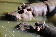 A hippopotamus. A Hippo wallowing in water Royalty Free Stock Photo
