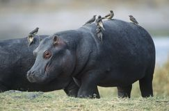 Hippopotamus (Hippopotamus Amphibius) με τα πουλιά στην πλάτη Στοκ εικόνες με δικαίωμα ελεύθερης χρήσης