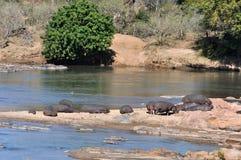 Hippopotamus (Hippopotamus amphibius) Stock Photos