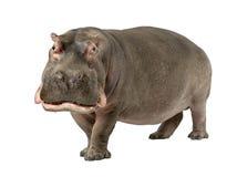 Hippopotamus - Hippopotamus amphibius (30 Jahre) Lizenzfreie Stockfotografie