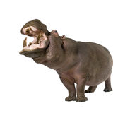 Hippopotamus - Hippopotamus amphibius ( 30 years) Royalty Free Stock Photo