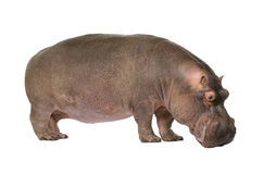 Hippopotamus - Hippopotamus amphibius ( 30 years) Royalty Free Stock Photography
